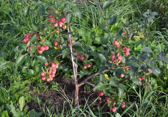 Выращивание низкорослых яблонь 17