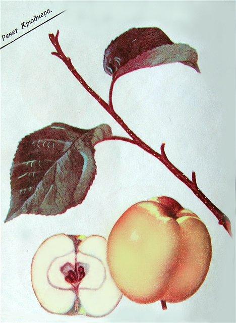 Энциклопедия старинных сортов яблони