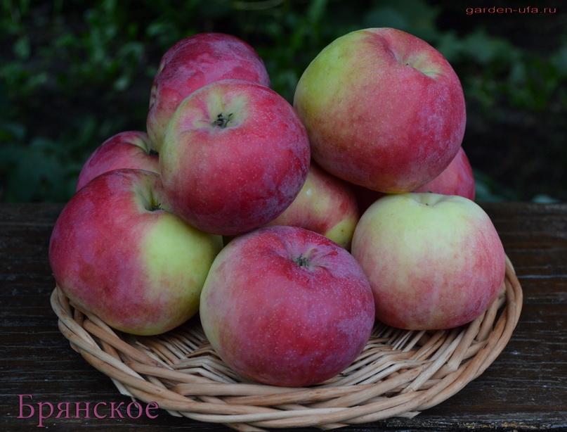 яблоня брянское алое описание фото отзывы
