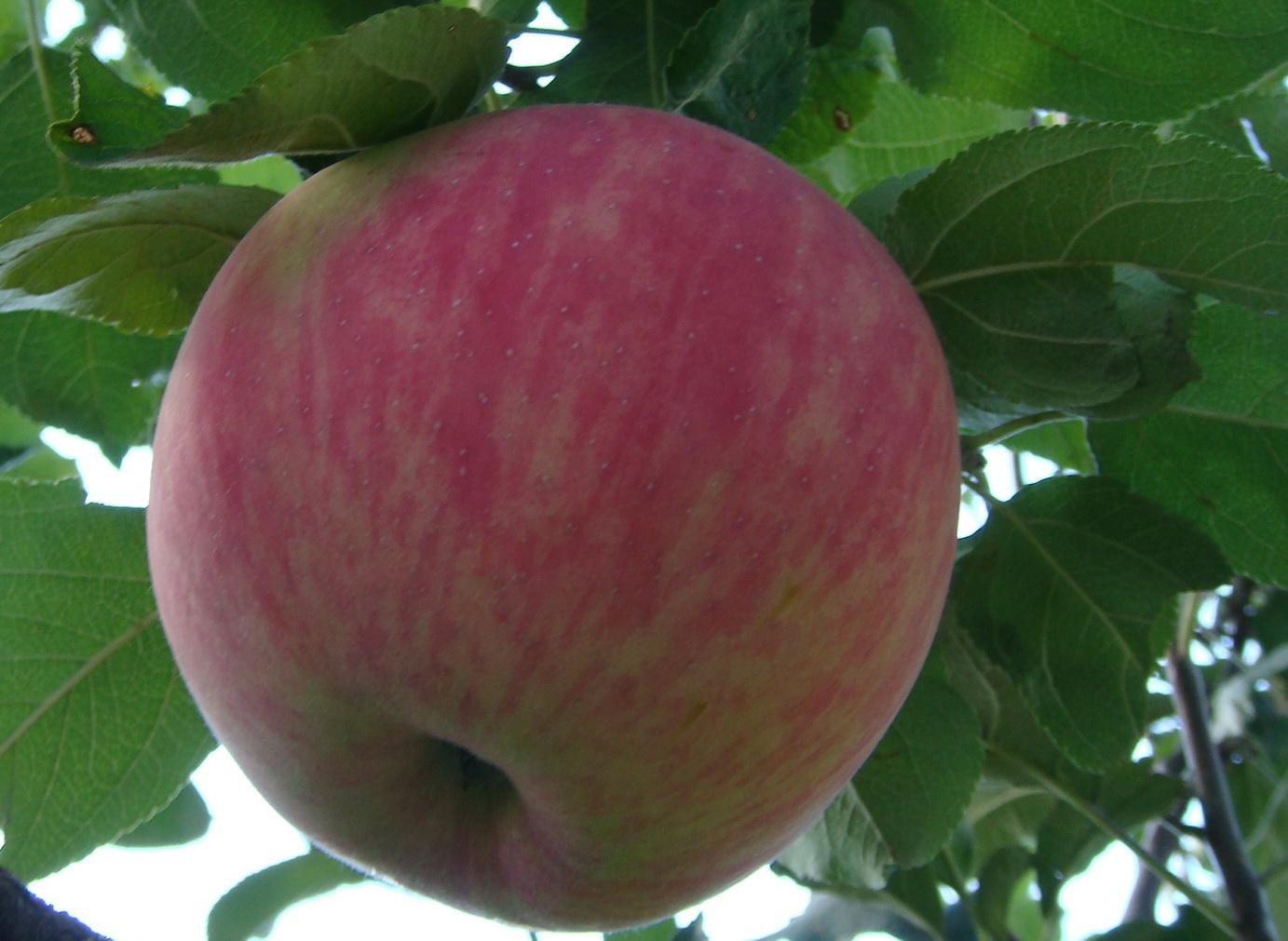 Яблоки Мельба картинки 6