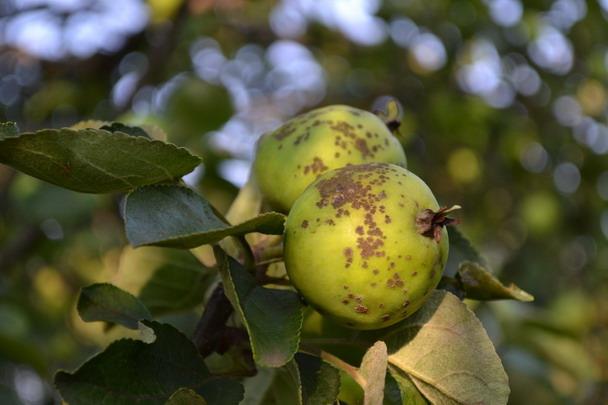 Яблоня июльское черненко 30000 руб